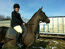 Potential young sports horses horse - 6 yrs 15.3 hh Bay - North H...