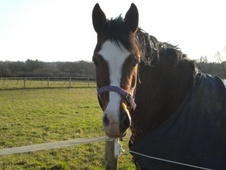 All Rounder horse - 5 yrs 14.2 hh Dark Bay - Cheshire