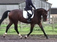 All Rounder horse - 8 yrs 1 mth 16.1 hh Dark Bay - Leicestershire