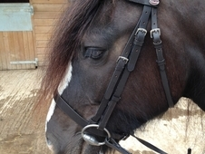 14. 2 7 Year Old Heavy Weight Cob Mare