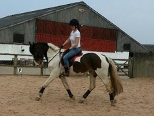 All Rounder horse - 4 yrs 15.1 hh Skewbald - Staffordshire