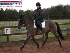Tarrow Pollyanna, 14. 2h, British Riding Pony X, 17 years, Mare -...