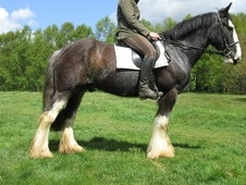 Cobs horse - 5 yrs 15.3 hh Black - Surrey