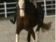 Riding Club Horses/Ponies horse - 6 yrs 1 mth 15.2 hh Chestnut - ...