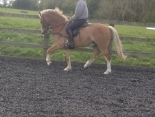 Gorgeous 6yr 14hh all rounder pony