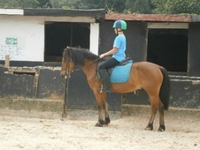 Pony Club Ponies horse - 9 yrs 1 mth 13.3 hh Bright Bay - Surrey