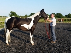 American paint horse 4 year old black tobiano gelding