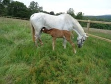 Broodmares horse - 18 yrs 17.0 hh Grey - Surrey