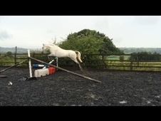 Cracking 13. 2hh Connemara