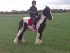 Cobs horse - 3 yrs 14.1 hh  - South Humberside