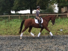 Good Looking Talented Young Dressage Horse