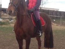 All Rounder horse - 15 yrs 15.2 hh  - South Humberside