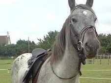 'jimmie' 15. 2hh Irish X Project/companion