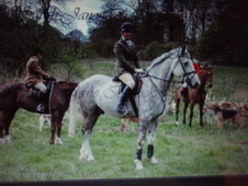Irish draught gelding **SOLD**7 year old 16. 2hh