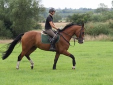 Lovely 5yo showjumper or dressage horse