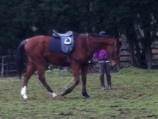 All Rounder horse - 4 yrs 2 mths 15.3 hh Bay - Surrey