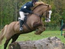 All Rounder horse - 14 yrs 14.2 hh Chestnut - Cumbria