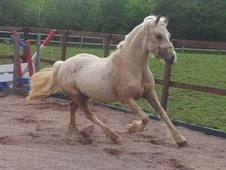 Showing horse - 3 yrs 13.2 hh Palomino - West Midlands