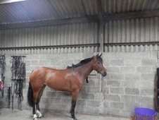 Show Jumpers horse - 5 yrs 16.1 hh Bay - Warwickshire