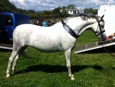 Perfect Childs Pony For Sale, 13hh 6 Year Old Grey Mare!