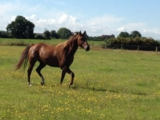 Now Sold - Beautiful 15. 2h 5 Year Old Registered Quarter Horse G...