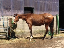 Young Stock  horse - 1 yr 11 mths 15.3 hh Bay - Mid Glamorgan