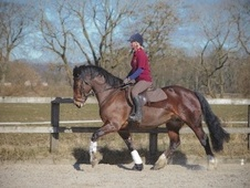 Mountain & Moorland horse - 6 yrs 14.2 hh Bright Bay - Lancashire