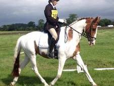 16hh Coloured Sports horse
