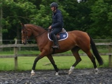 Stunning 16.1 h Bay 7 year old mare