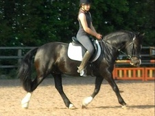 All Rounder horse - 10 yrs 13.2 hh Black - Staffordshire