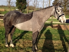 16. 2 grey IDxTB youngster out of Huntingfield Rebel bloodlines