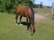 All Rounder horse - 7 yrs 16.0 hh Bay - Norfolk