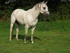 Quarter Horse Stallion For Sale