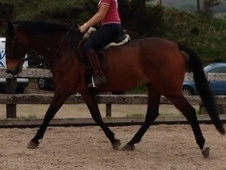 All Rounder horse - 13 yrs 16.3 hh Bay - Lancashire