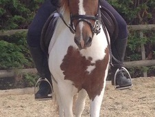 Comanche Little Indian 12. 1h Coloured Gelding For Sale