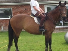 Pip, 15. 3h, Sports Horse cross, 20 years, Mare - Hampshire