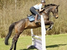 Eventers horse - 7 yrs 1 mth 16.2 hh Dark Brown - Nottinghamshire