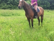 Handsome 16. 2 TB Bay Gelding
