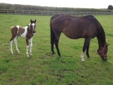 Young Stock  horse - 1 mth 15.2 hh Skewbald - South Glamorgan