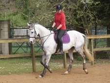 All Rounder horse - 10 yrs 2 mths 16.3 hh Dapple Grey - South Yor...
