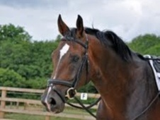 Stallions at Stud horse - 8 yrs 16.2 hh Dark Bay - Surrey
