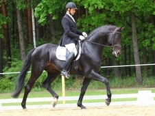 Dressage/breeding stallion ideal for amateur or youth rider