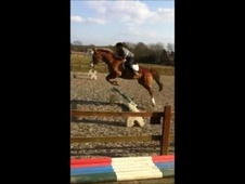 All Rounder horse - 7 yrs 10 mths 16.0 hh Chestnut - Kent