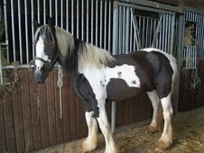 Coloured horse - 4 yrs 15.0 hh Piebald - Staffordshire