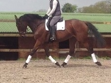 All Rounder horse - 5 yrs 16.1 hh Bay - Avon