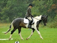 All Rounder horse - 7 yrs 15.2 hh Piebald - West Sussex