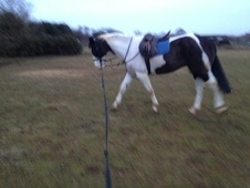 All Rounder horse - 7 yrs 5 mths 15.3 hh Piebald - Norfolk