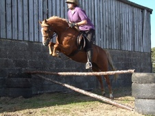 Mountain & Moorland horse - 5 yrs 11 mths 12.2 hh Chestnut - Dyfed