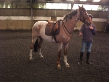Potential young sports horses horse - 5 yrs 2 mths 15.2 hh Strawb...