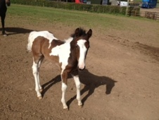 Young Stock  horse - 1 mth 16.0 hh Skewbald - South Glamorgan